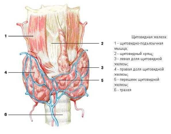 Аналіз крові на гормони щитовидної залози, норма, розшифровка, підготовка