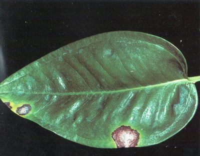 Антуріум-хвороби та шкідники, визначаємо і лікуємо