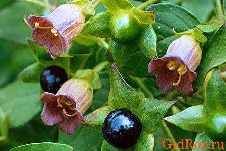 Беладонна - рослина отруйна, але дуже корисне в медицині!