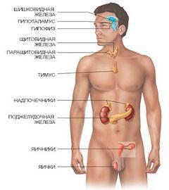 Ендокринні залози