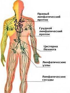Лімфатична система