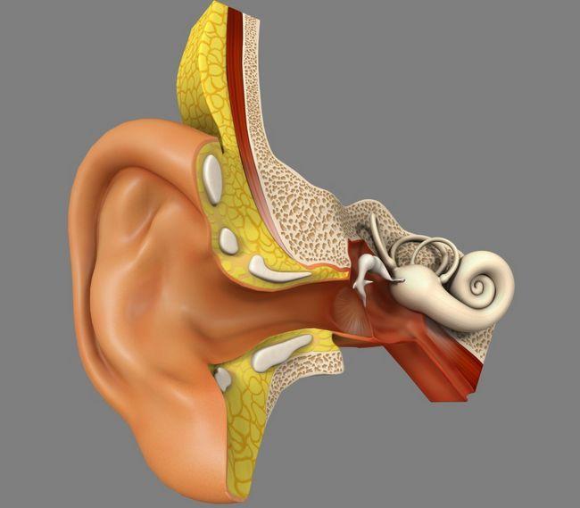 Будова органу слуху