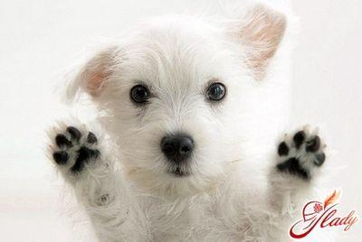 Симптоми циститу у собак цистит