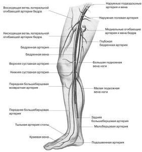 Будова венозного судини ніг