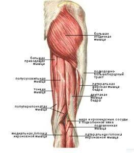 Двоголовий м`яз стегна