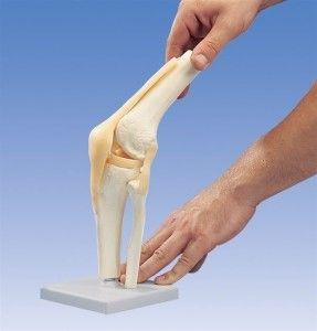 Будова і функціональність колінного суглоба
