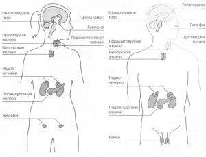 схема ендокринної системи у чоловіків і жінок